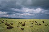 Bison Herd in the Niobrara Valley Preserve