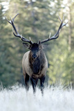 A Bull Elk  Cervus Canadensis  Stands in a Frost Covered Meadow