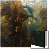 A Sea Lion Swims in a Bed of Kelp Off Santa Barbara Island