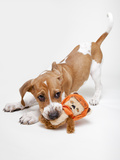 Portrait of a Cute and Adoptable Coon Hound Puppy Playing with a Toy and Ready for Adoption