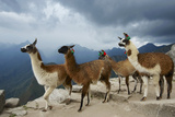 Llamas Stand on a Terrace High in the Andes