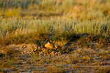 A Swift Fox Sleeps at its Den Site in the Sunlight