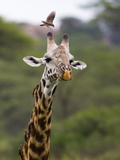 Ngorongoro Crater  Tanzania  Africa: Birds Eat Pesky Bugs Out of a Giraffe's Fur