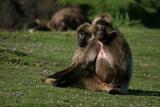 Gelada Baboons  Theropithecus Gelada  Resting