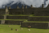Llamas Graze and Rest on the Terraces of Machu Picchu