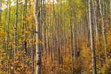 Edwards  Colorado: Hikers Follow a Trail Through the Changing Aspens