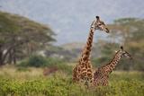 Ngorongoro Crater  Tanzania  Africa: Giraffe in Ngorongoro Crater