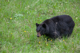 A Bear Feeds in a Grass Meadow on Dandelions and Forbs