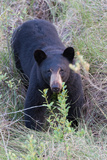 A Black Bear Roams Through the Saw Palmettos and Pine Flatwoods