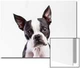 Portrait of a Boston Terrier Against a White Background