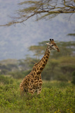 Ngorongoro Crater  Tanzania  Africa: A Giraffe under an Acacia Tree in Ngorongoro Crater