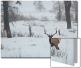 A Bull Elk Stands in a Snowy Landscape