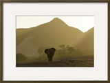 A Desert-Adapted African Elephant  Loxodonta Africana  Walking in a Hazy Landscape of Hills