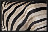 Burchell's Zebra Stripes  Etosha Namibia