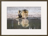 Lion (Panthera Leo) Drinking  Kgalagadi Transfrontier Park  South Africa  Africa