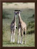 Masai Giraffes in a Forest  Masai Mara National Reserve  Kenya