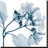 Hydrangeas - Positive (Left)