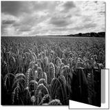 Sweeping Maize Field