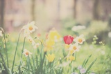 Daffodil and Red Tulip