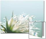 Water Droplets on Flower Acrylique par Laura Evans