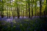 Bluebells in Woods Papier Photo par Rory Garforth