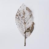 Decaying Leaf