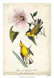 Yellow Swamp Warbler