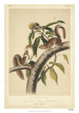 Audubon Squirrel I