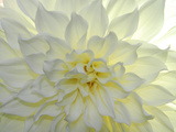 Close Up of a White Dahlia Flower Aluminium par Raul Touzon