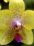 Close View of a Yellow Orchid Blossom  Groton  Connecticut