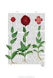 Italian Carnation 2