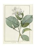 Magnolia Yulan Magnolia Denudata  1812