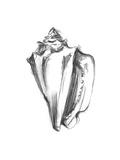 Shell Sketch I