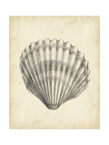 Antique Shell Study III