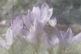 Crocus Blur I