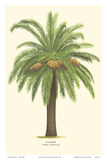 Canary Island Date Palm Tree - Palmier (Phoenix Canariensis)