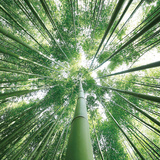 Bamboo Forest - Tempered Glass Wall Art