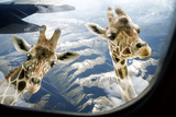 Giraffes are Nosy Temperd Glass Wall Art