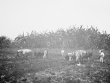Plowing on a Cuban Sugar Plantation