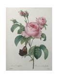 Petaled Rose