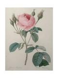 Mossy Rose