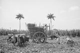 Gathering Cane on a Cuban Sugar Plantation