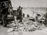 Unloading Gortons Codfish  Gloucester  Mass