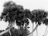 Studies in Palms  Sebastian Creek  Florida