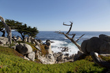 Lone Cypress on the 17-Mile Drive  Monterey Peninsula  California