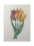 Gesner Tulip