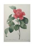 Camellia Amenonefolia