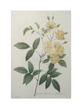 Bancks Yellow Rose