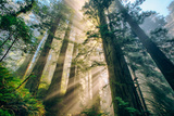 Divine Forest Light Coast Redwoods Del Norte California