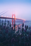 Foggy Golden Gate Bridge and Wildflowers  San Francisco
